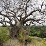 Mimpi Pohon Kering dan Layu