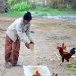Mimpi Beri Ayam Makan