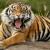 Mimpi Harimau